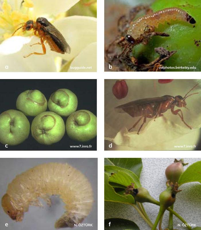 Elma testereliarısı'nın Ergini, Larvası, Zararı; Armut testereliarısı'nın Ergini, Larvası, Zararı