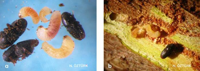 Meyve yazıcıböceği'nin Ergini ve larvaları, Kabuk altındaki ergin ve larvaları