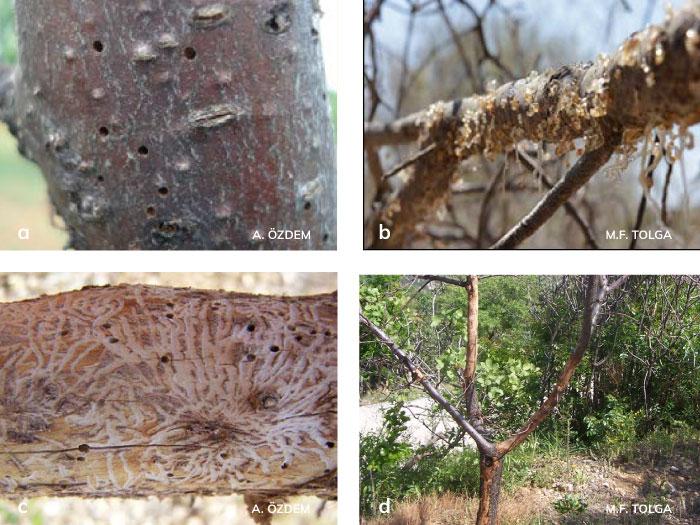 Meyve yazıcıböceği'nin Çıkış delikleri, Giriş deliklerindeki zamk akıntısı, c) Kabuk altında açtığı galeriler, Zararı sonucu ağaçta meydana getirdiği kuruma