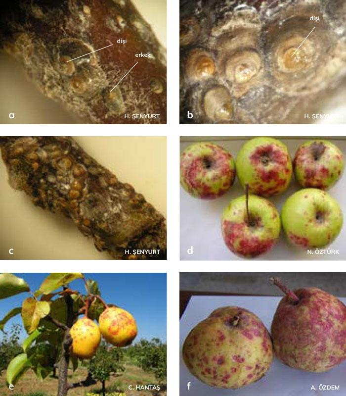 San- Jose kabuklubiti'nin dişi ve erkek erginleri ile elma, armut ve ayvadaki zararları