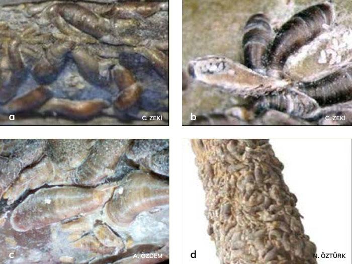 Virgül Kabuklu Biti dişileri ve yumurtası