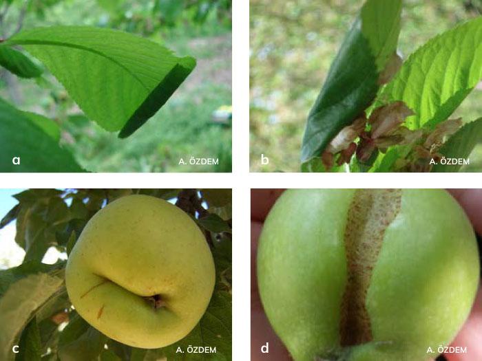 Yaprakbüken'lerin Yapraklardaki zararı, Meyvelerdeki zararı