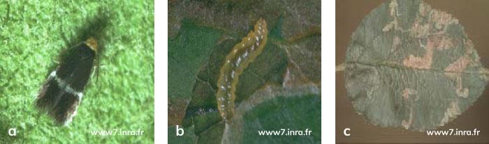 Elma Yaprak Galeri Güvesi'nin Ergini, Larvası, Yapraktaki zarar şekli