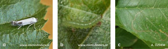 Kiraz Yaprak Galeri Güvesi'nin Ergini, Larvası, Yapraktaki zararı