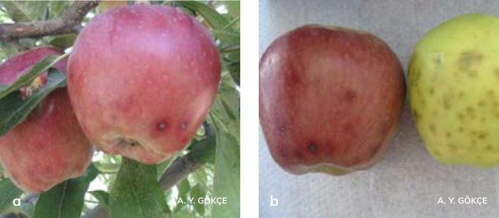 Alternaria meyve çürüklüğünün elma meyvelerindeki belirtileri