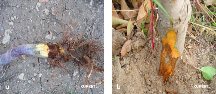 Hastalıklı ağaçların kökboğazında meydana gelen nekrozlar
