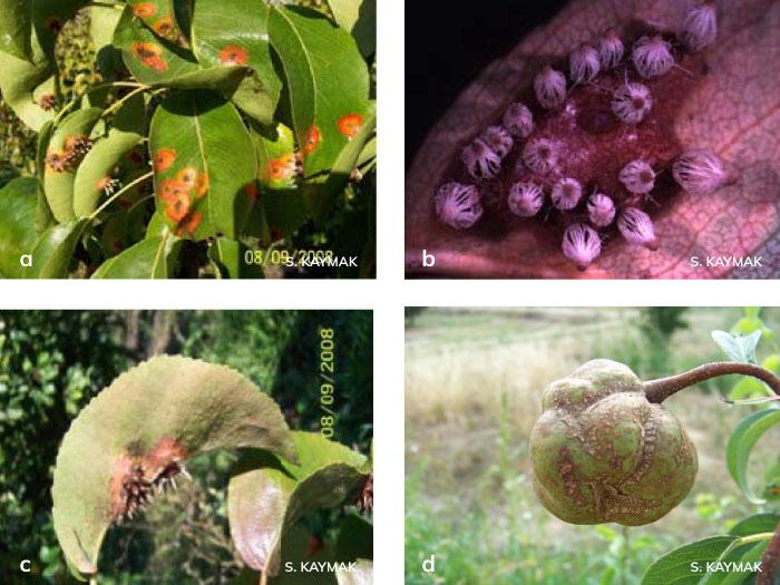 Memeli pasın elma yaprağının üst yüzünde oluşturduğu piknitleri