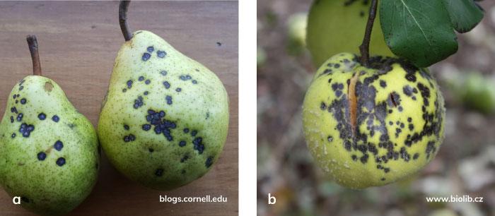 Kahverengi leke hastalığının armut ve ayva meyvesindeki kahverengi leke belirtileri