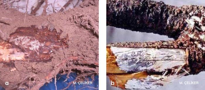 Armillaria kök çürüklüğü etmeninin iç kabuk ve odun dokusunda meydana getirdiği beyaz fungal tabaka