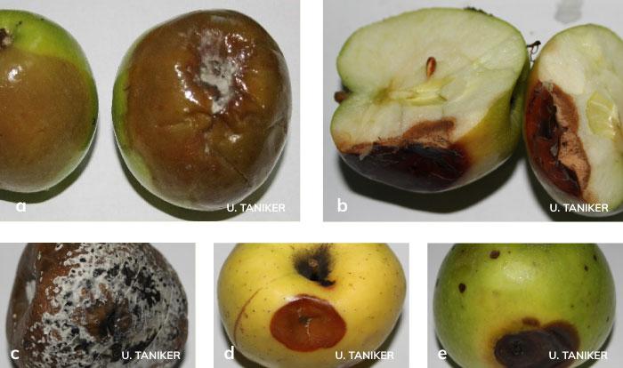 elma, armut ve ayvada Depo çürüklük etmenlerinin belirtileri