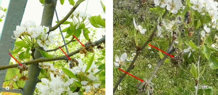 Armutta Pseudomonas çiçek yanıklığı hastalığı nedeniyle oluşan çiçek enfeksiyonları