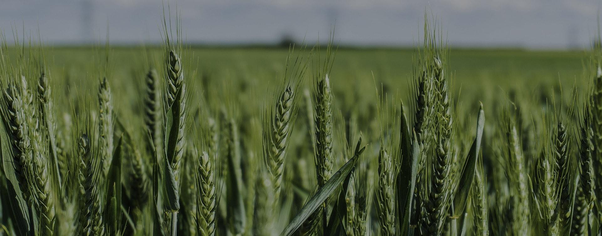 Doğru gübrelemeyle gelişmekte olan buğday başakları