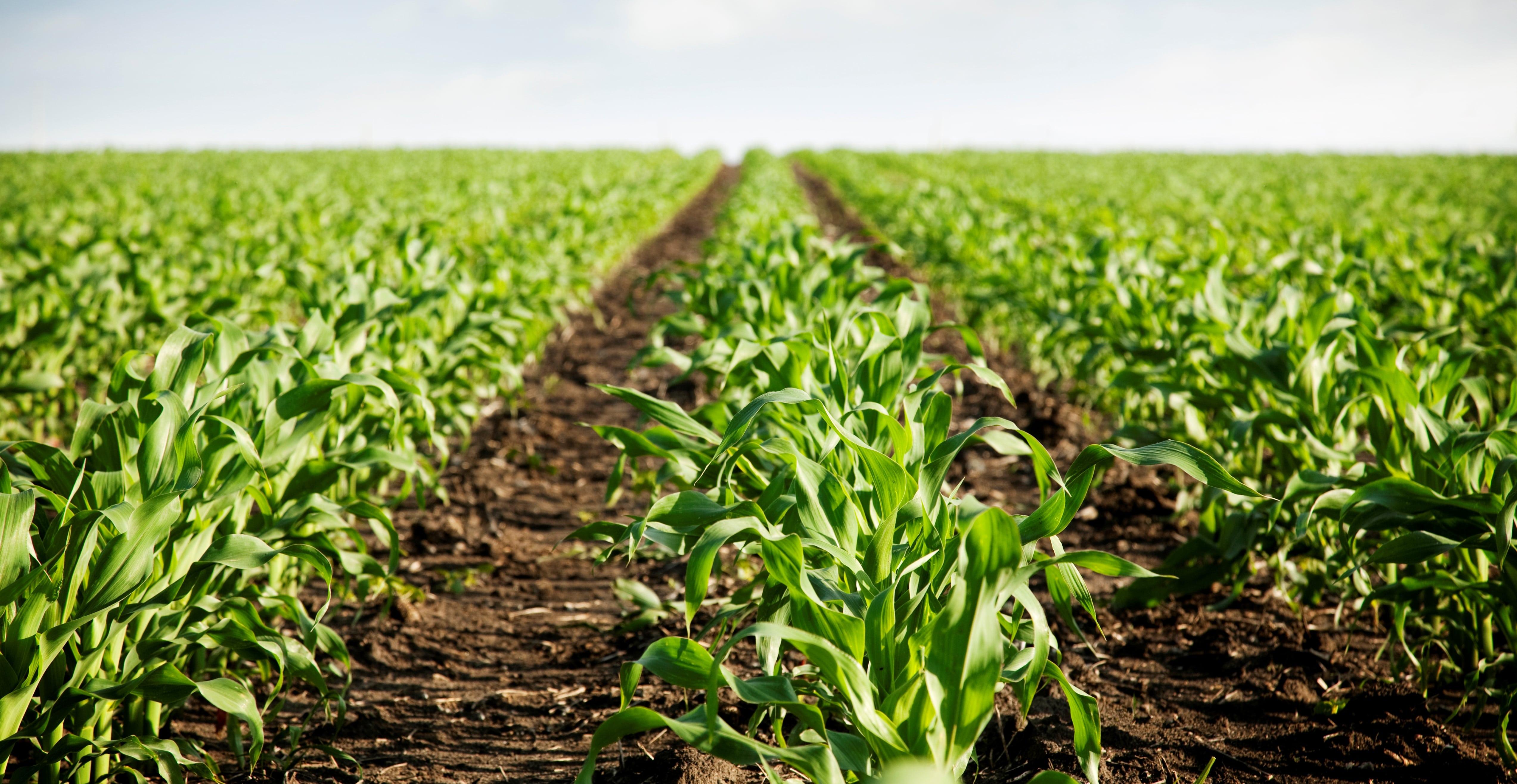 Gübre uygulanmış mısır tarları