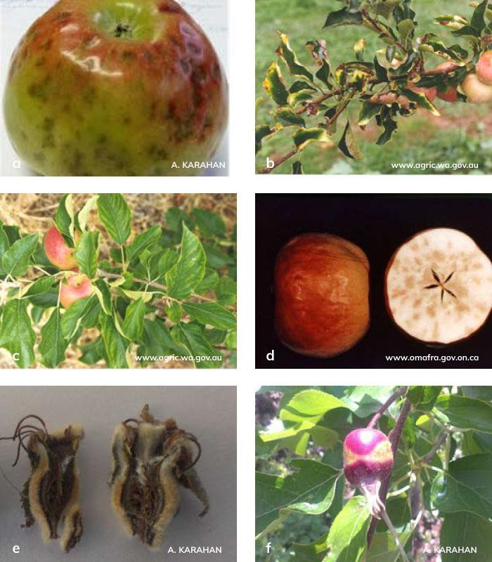 Elma, armut ve ayva bitikilerinde besin noksanlıkları.