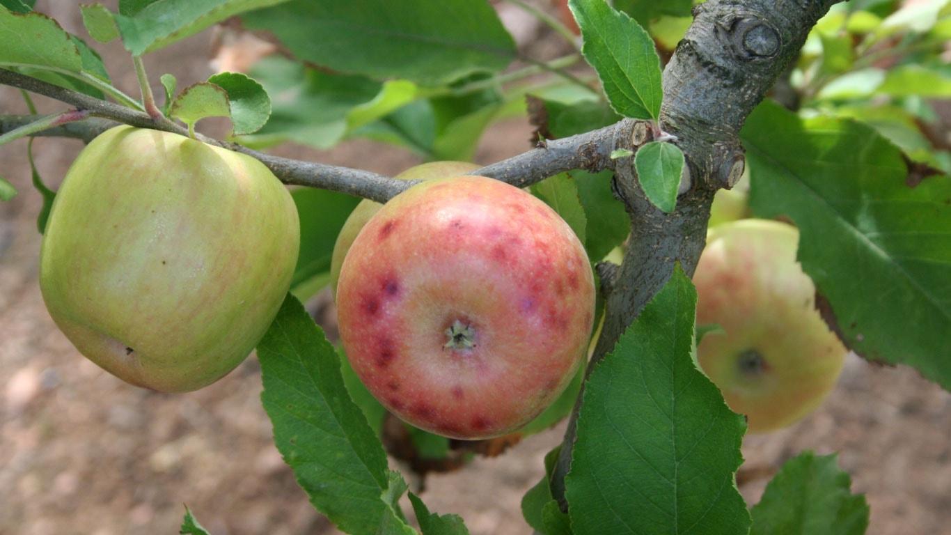 Elma, Armut ve Ayva bahçelerinde kimyasal zirai mücadele uygulama tekniklerini öğrenmek mücadelenin verimliliğini arttırır ve bitkilere olası bir zararı önler.