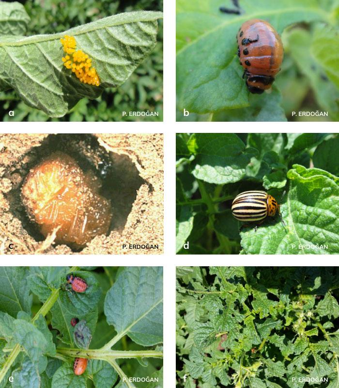 patates böceği ergini, yumurtası, larvası ve pupası