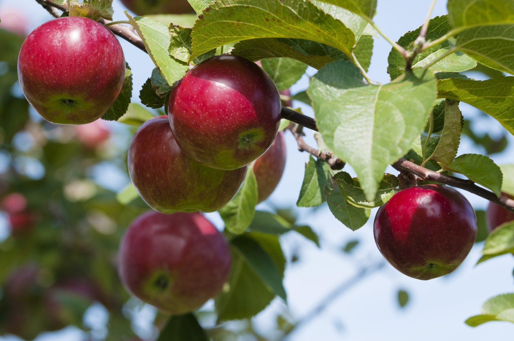 İyi olgunlaşmış elmalar