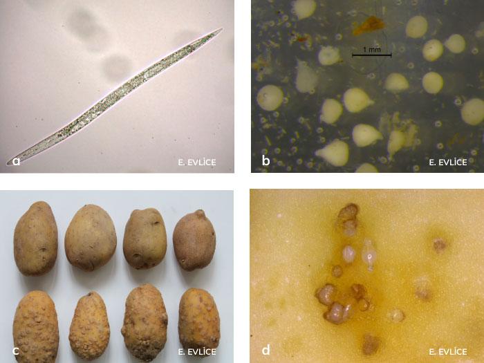 Patateste kök-ur nematodlarının ergini, yumurtası ve zararları
