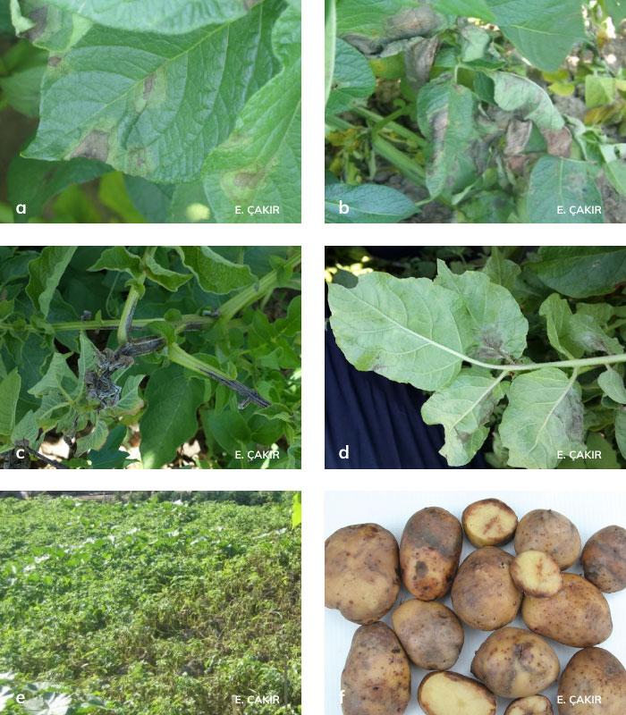 Patates mildiyösü ve bitkideki zararları.
