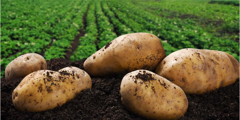 Doğru gübreleme yapılan patates