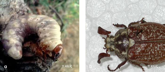 Manas ergini ve larvası