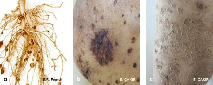 Patateste tozlu uyuz hastalığının köklere oluşumu ve sebzedeki etkileri