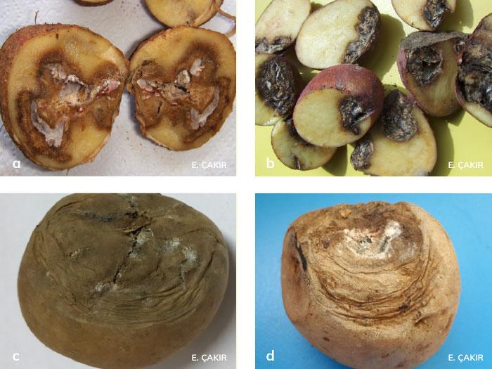 patateste kuru çürüklük hastalığının belirtileri