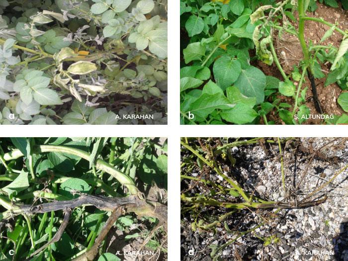 Yumuşak Çürüklük (Karabacak) Hastalığının bitkideki belirtileri