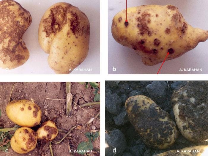 patates adi uyuz hastalığının yumruda oluşturduğu belirtiler.