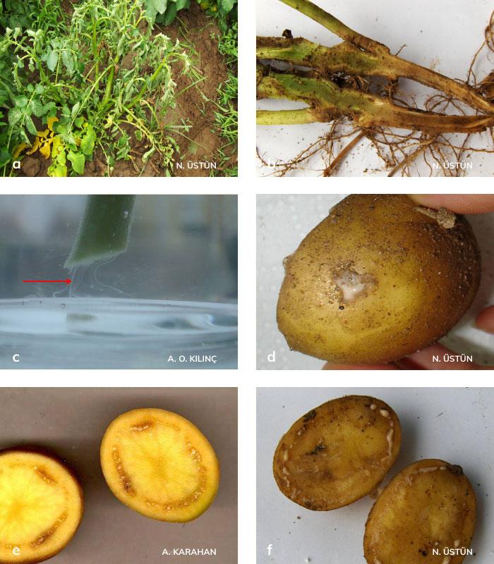 Bakteriyel solgunluk ve patates kahverengi çürüklük hastalığının bitki ve yumrudaki belitileri