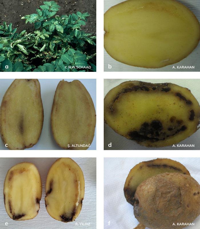 Patates halka çürüklüğü hastalığının bitki ve yumrudaki belirtileri
