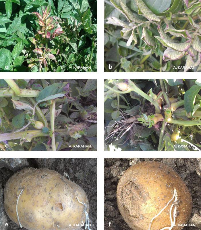 Patateste Stolbur Hastalığının bitki ve yumrudaki belitileri