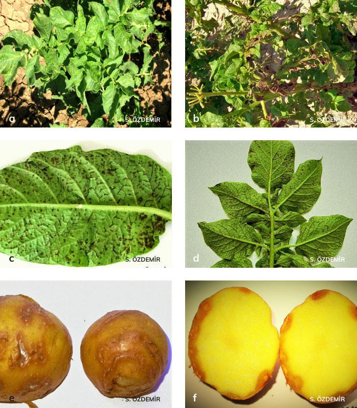 Patates Y virüsünün bitki ve yumrudaki belitileri