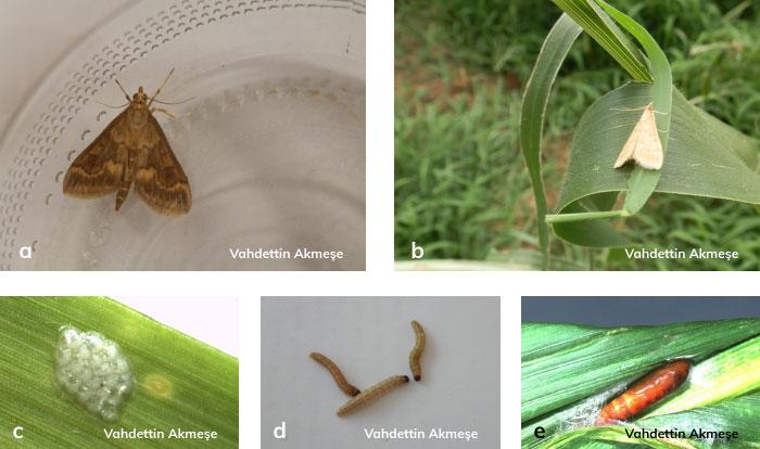 Mısırkurdu; erkek ve dişi ergini, olgun larvası, yumurta paketi ve pupası