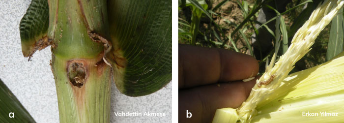 Mısırkurdu'nun mısır gövde ve tepe püskülündeki zararı