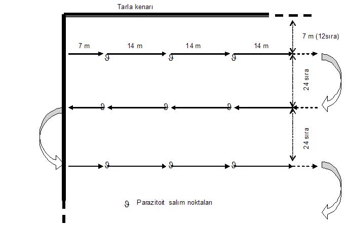 Trichogramma spp.'nin tarlaya salım planı