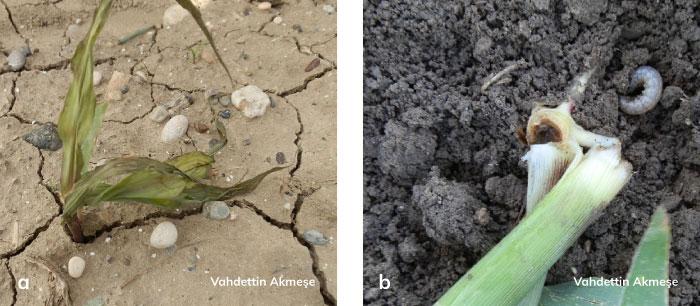Bozkurt'un mısır bitkisindeki zarar şekli