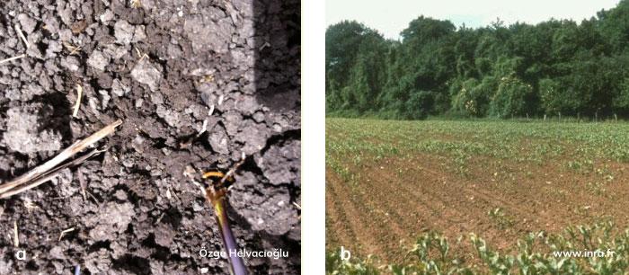 Telkurdu'nun mısır köklerinde ve tarladaki zarar şekli
