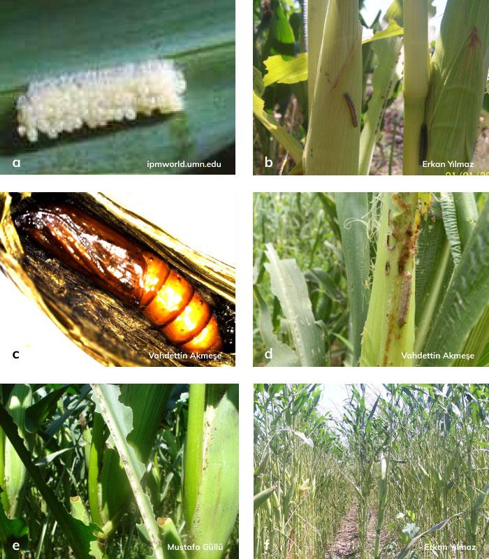 mısır yaprakkurdu larvası ve yumrutası