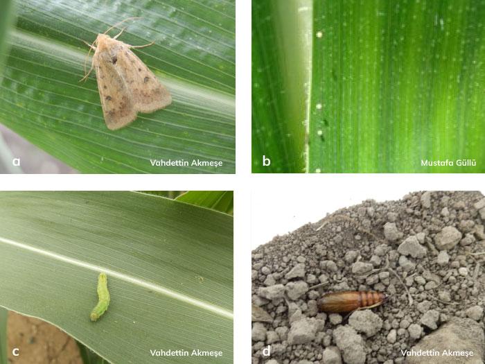 Yeşilkurt; ergini, yumurtası, larvası ve pupası
