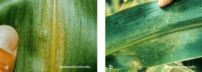 Kırmızı örümceğin mısır bitkisindeki zarar şekli