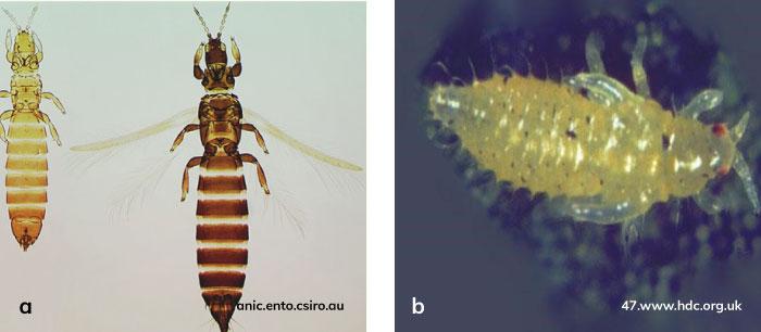 Mısırda thripsin (Limothrips cerealium) ergin ve larvası