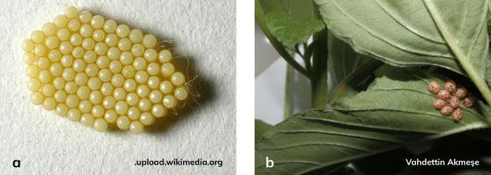 Pis Kokulu Yeşil Böcek'in yumurta kümesi, yumurtadan yeni çıkmış nimfler