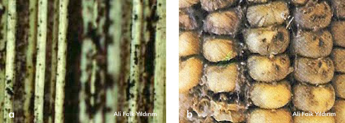 mısırda Macrophomina phaseolina hastalığı