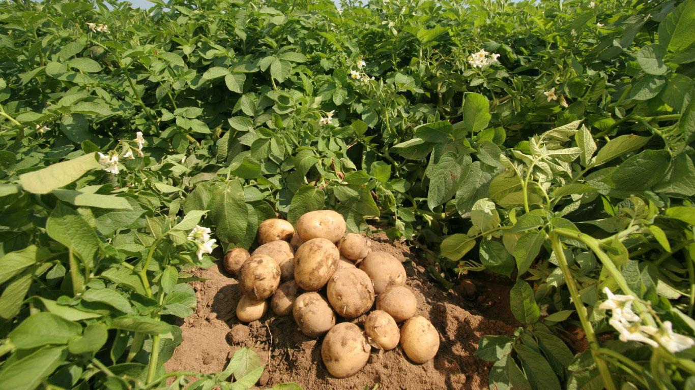 Patateste zirai mücadele kapsamında zararlılar, hastalıklar ve besin maddesi noksanlıkları için örnekleme zamanı ve kontrol yöntemleri mücadelenin verimliliği açısından önem arz eder.