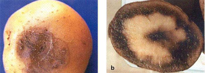 Patates yumrusunda soğuk zararı