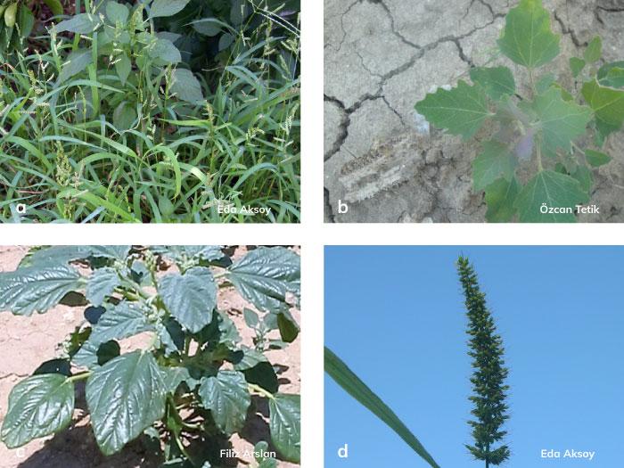 Mısır tarlasında zararlı olan tek yıllık önemli yabancı otlar: a) Benekli darıcan b) Sirken c) Bambulotu d) Kirpi darı