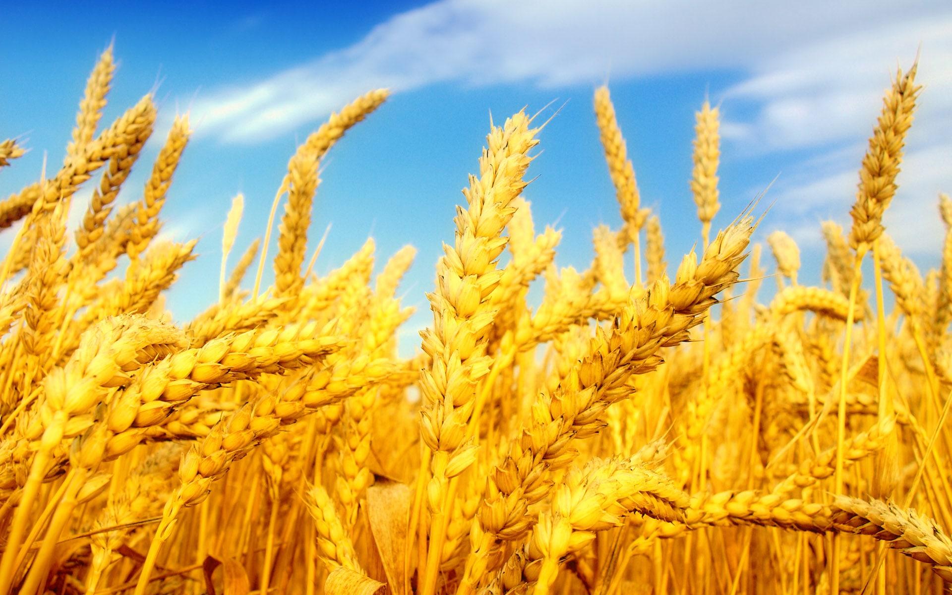 İyi olgunlaşmış buğday başakları.