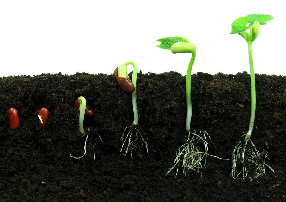 Bitkinin kök gelişimi.