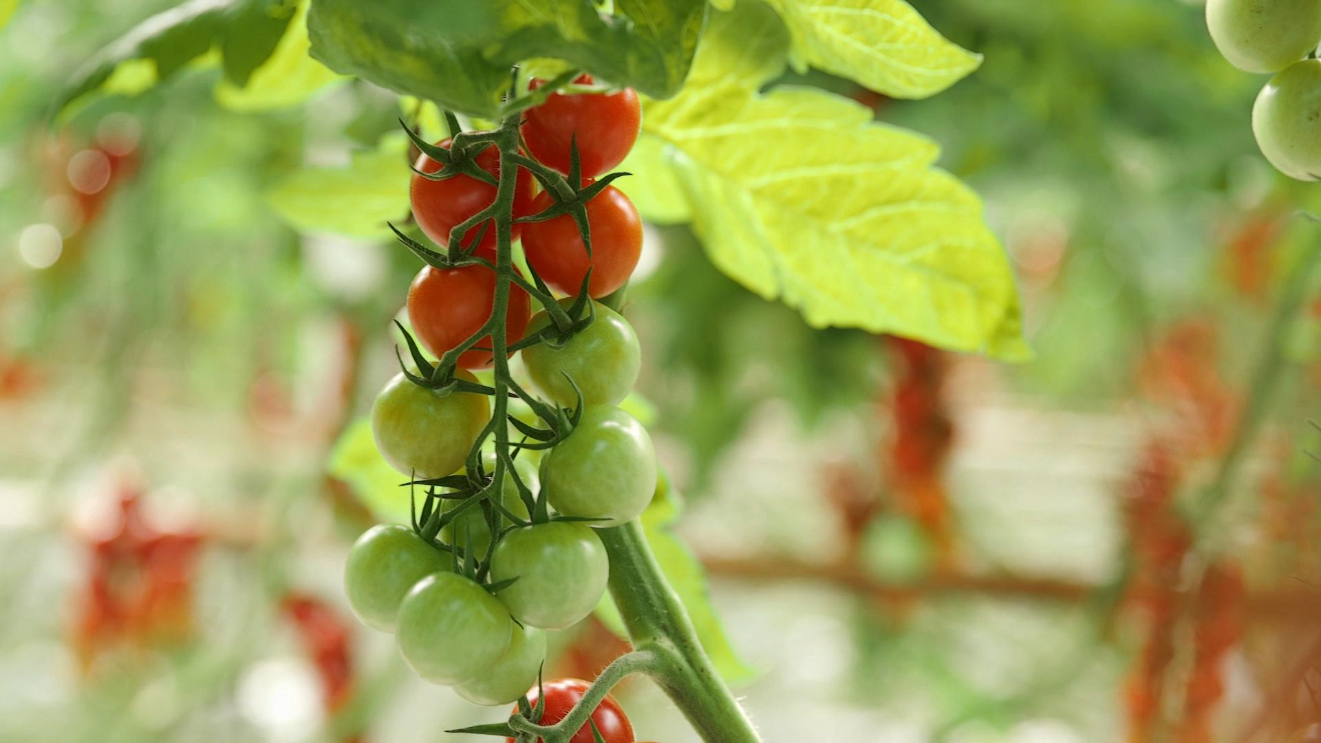 Doğru gübre uygulaması yapılmış domates.
